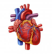 Older persons heart